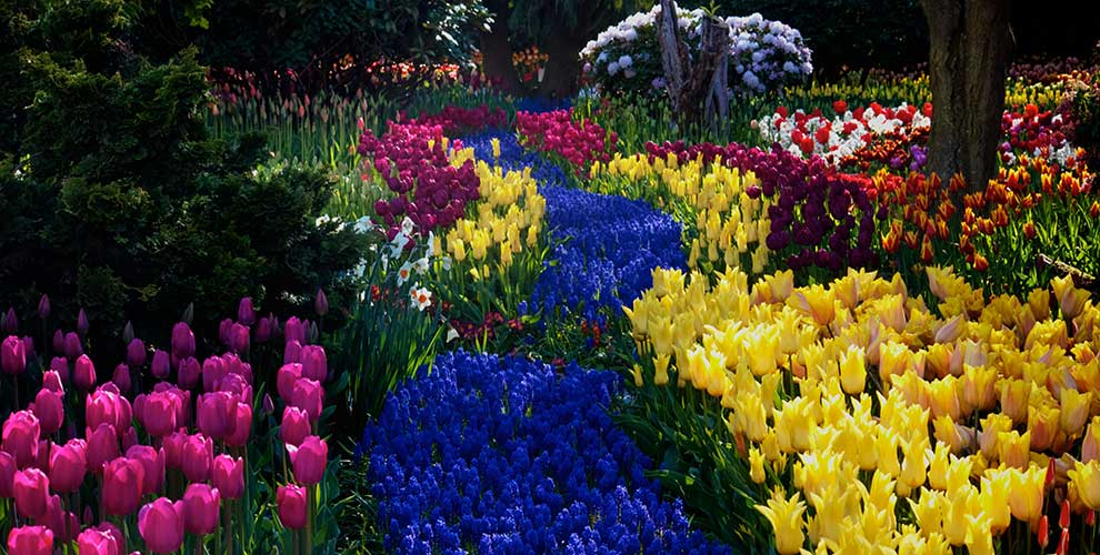 Tulips garden flower bed